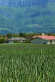 Erken ilkbaharda buğday alanı — Stok fotoğraf