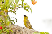 A yellow Robin on a tree — Stock Photo