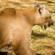 Puma, Cougar or Mountain Lion — Stock Photo #11981710