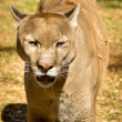 Puma, Cougar or Mountain Lion — Stock Photo