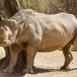 Stock Photo: Hook-lipped Rhino