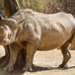 Hook-lipped Rhino — Stock Photo