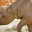 Hook-lipped Rhino — Stock Photo #11982171