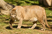 Puma, cougar of poema — Stockfoto