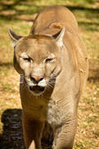 Puma, Cougar or Mountain Lion — Стоковое фото
