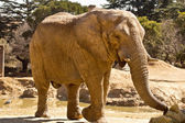 Elephant eating grass — Stock Photo
