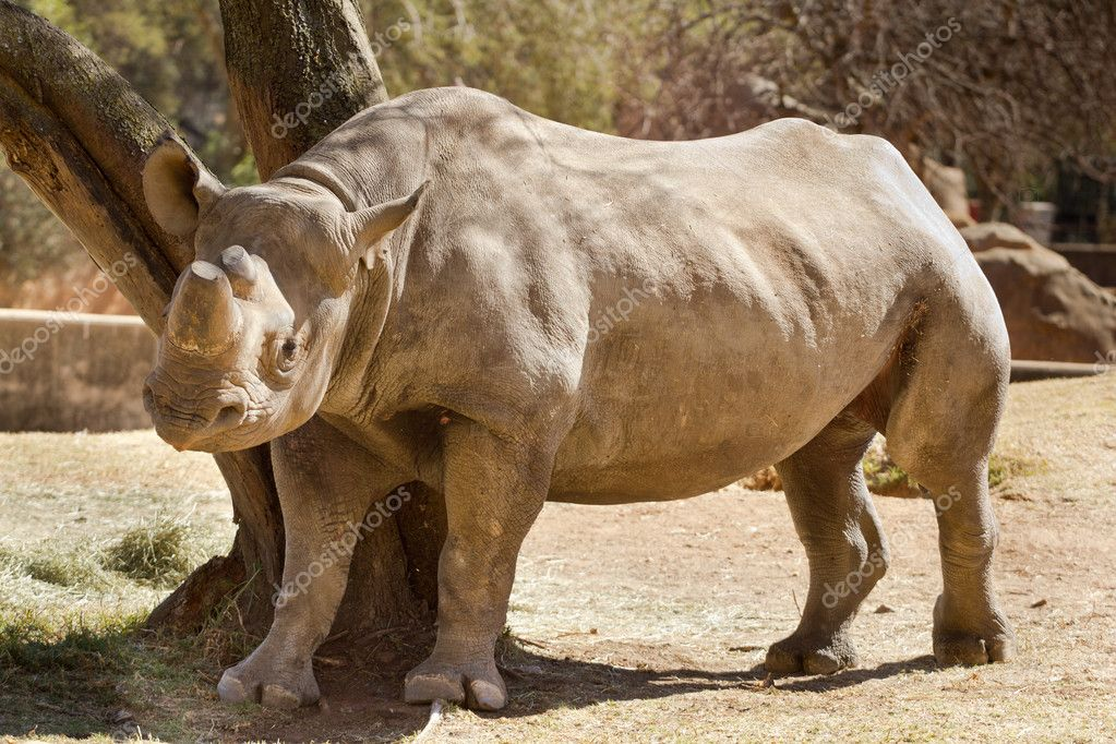 Hook-lipped Black African Rhinoceros — Stock Photo #11982143
