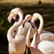 Flamingo — Stock Photo #12035919