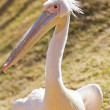 White Pelican — Stock Photo #12035928