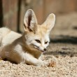 Sleepy Fennec — Stock Photo #12063564