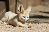 Fennec somnolent — Photo