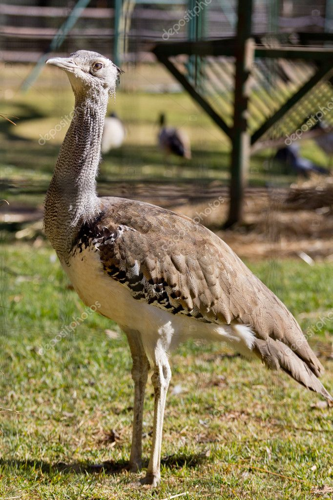 Kori Bustard standing tall on the grass — Stock Photo #12065636