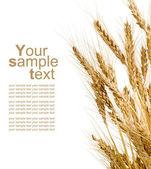 Espigas de trigo no fundo branco isolado — Foto Stock