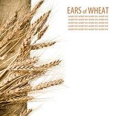 Buğday ve çuval bezi kumaş izole beyaz zemin üzerine — Stok fotoğraf