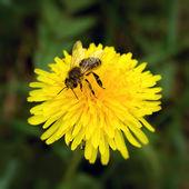 Abelha e flor — Foto Stock