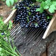 Comb for picking blueberries — Stock Photo