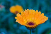 Photo of garden flowers calendula — Stock Photo