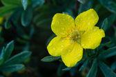 Photo of garden flowers cinquefoil — Stock Photo