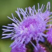 Fioletowy kwiat — Zdjęcie stockowe