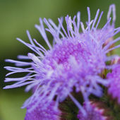 Purple flower — Stockfoto