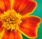 Portakal çiçeği — Foto de Stock