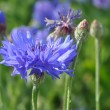 Cornflower — Stock Photo #11973132