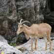 Stock Photo: Serow1