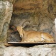 Stock Photo: Serow bed