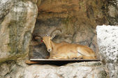 Serow bed — Stock Photo