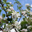 Blooming apple tree branch and bee collect nectar — Stock Photo