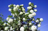 Boule de neige des floraisons blanches sur bleu ciel. viorne obier. — Photo