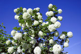 Snowball white blooms on blue sky. Viburnum opulus — 图库照片