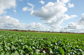 Campo de agricultura de colza violación en nubes de otoño — Foto de Stock