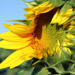 Opening sunflower closeup — Stock Photo