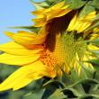 Opening sunflower closeup — Stock Photo