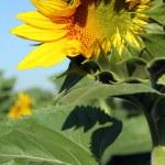 Opening sunflower — Stock Photo