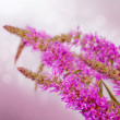 Stock Photo: Blooming fireweed