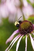 Yaban arısı — Stok fotoğraf