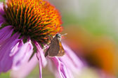 Coneflower and Skipper Butterfly — Stock Photo