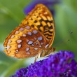 Great Spangled Fritillary butterfly — Stock Photo #11751321