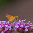 Skipper Butterfly — Stock Photo