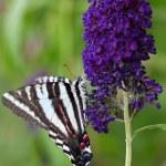 ������, ������: Zebra Swallowtail Butterfly