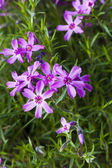 Pink phlox flowers. — Stock Photo