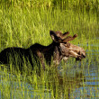Stock Photo: Bull moose wades in deep water.