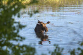 Bull moose wading in the pond. — Stock Photo