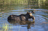 Moose in the water. — Stock Photo