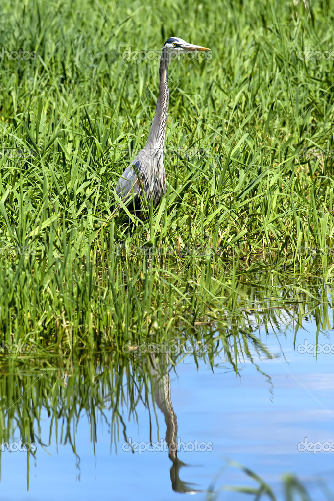 A great blue heron casts a reflection on the water. — Photo #11315681