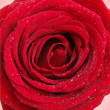 Red rose -  