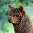 Royalty-Free Stock Photo: Alpaca, Vicugna pacos