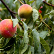 Organic fresh ripe peach on tree — Stock Photo